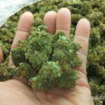 Quality-marijuana